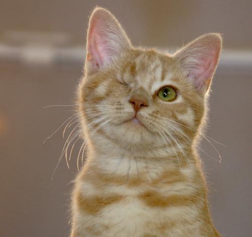 MiMi the Cat | tomdemerly White Cat With Orange Eyes
