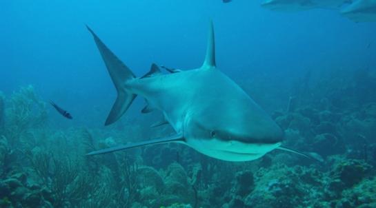 shark30
