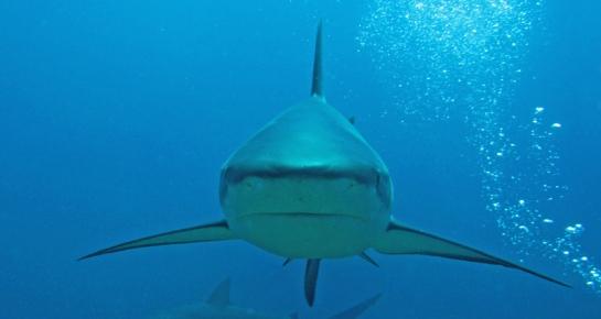 shark40