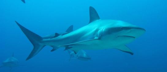 shark80