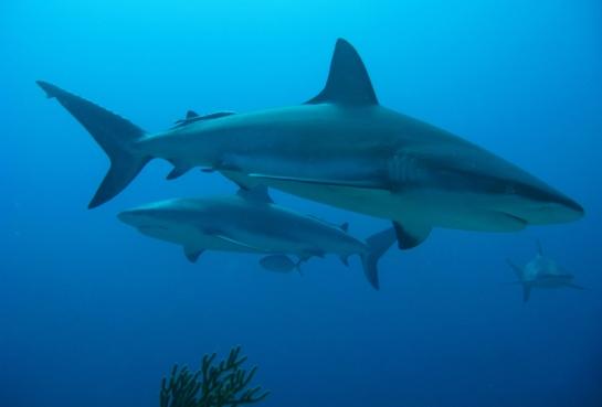 shark90